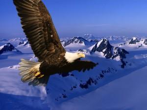 Les aigles dans Poésie Le-Marginal-Magnifique-Les-aigles-aigle-royal-plane-ne-pas-aimer-travailler-%C3%A9loge-de-la-contemplation-300x225