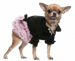 Toutou de ces dames dans Poésie Toutou-de-ces-dames-Le-Marginal-Magnifique-Petit-chien-habill%C3%A9-pomponn%C3%A9-amusant-chihuahua-300x246